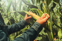 Hand Opening Corn On Stalk In ...