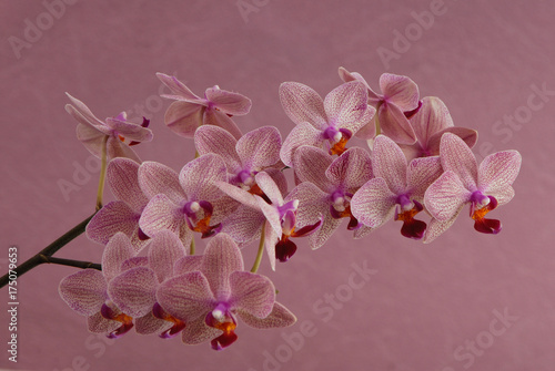 Foto op Plexiglas Magnolia pink orchid is on lilac background