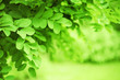 Leinwandbild Motiv Green nature background with dandling brunches of tree