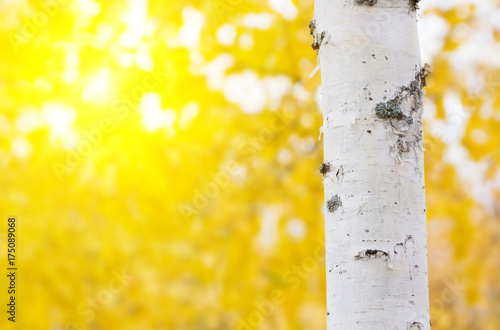 Autumn background with birch trunk in the sunlight