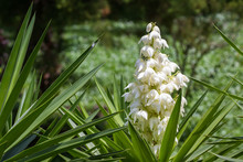 Yucca Gigantea -  Flor De Itabo