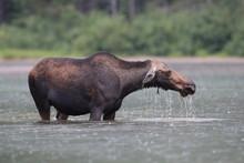 Moose Feeding In Pond In Glacier National Park In Montana