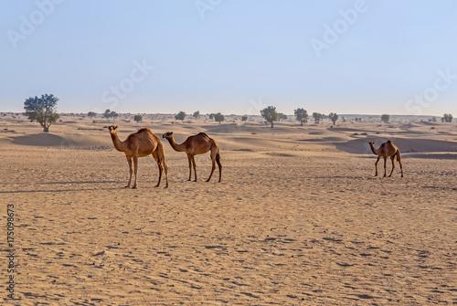Fototapeta wielbłądy na pustyni