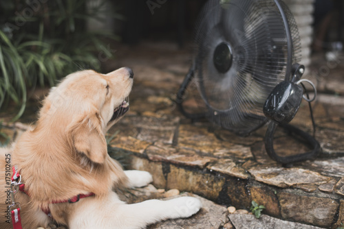 Foto  golden retriever with blurry background fan cooling.