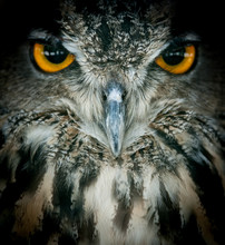 Eagle Owl Portrait Closeup