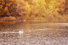 Swan Swims Along The Autumn Po...