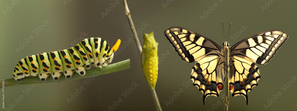 Fototapeta Transformation of common machaon butterfly emerging from cocoon isolated