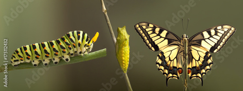 Foto op Plexiglas Vlinder Transformation of common machaon butterfly emerging from cocoon isolated