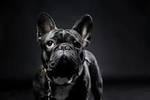French Bulldog With Plain Background