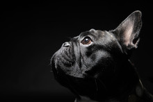 French Bulldog With Plain Background