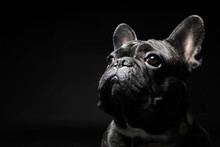 French Bulldog With Plain Back...