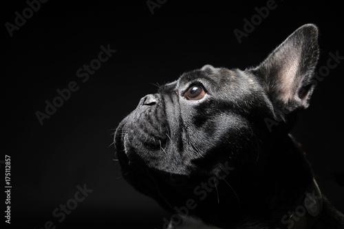 Foto op Plexiglas Franse bulldog French bulldog with plain background