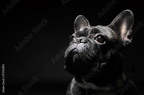 Stickers pour portes Bouledogue français French bulldog with plain background