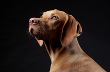 Hungarian Hunter Dog In Studio