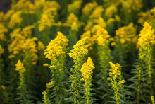 Blooming Goldenrod (Solidago C...