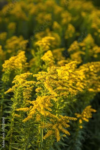 Blooming goldenrod (Solidago canadensis) Fototapeta