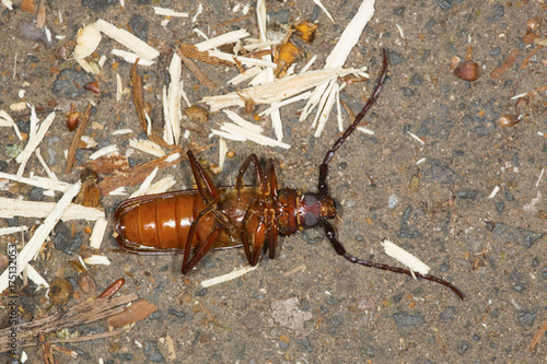 Fotografie, Obraz  Brown prionid beetle lying on its back in Vernon, Connecticut.