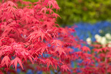 Background Of Red Acer Leaves ...