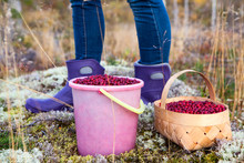 A Bucket And A Basket With Cranberries Near The Feet Of A Man The Picker