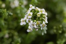 The Alpine Cress Hornungia Alpina