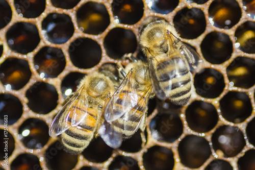 Plakat zbliżenie pszczół na plastrze w pasiece