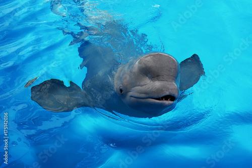 Fotografie, Tablou  Friendly Beluga Whale