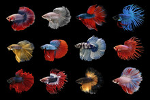 Collection Of Betta Fish