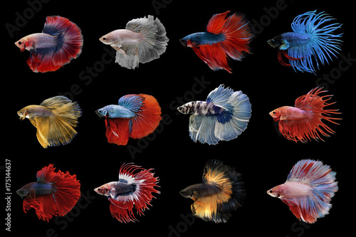 Photo collection of betta fish