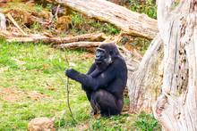 Gorilla In Cabarceno National ...