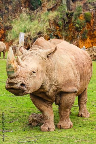Poster Neushoorn White rhinoceros or White Rhino, Ceratotherium simum, with big horn in Cabarceno Natural Park