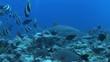 Lemon shark swims past banner fish school, POV