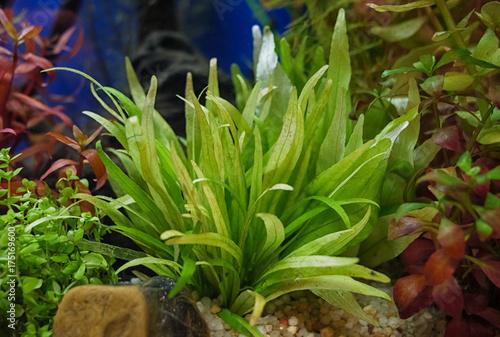 Plakat słodkowodne akwarium zielone rośliny