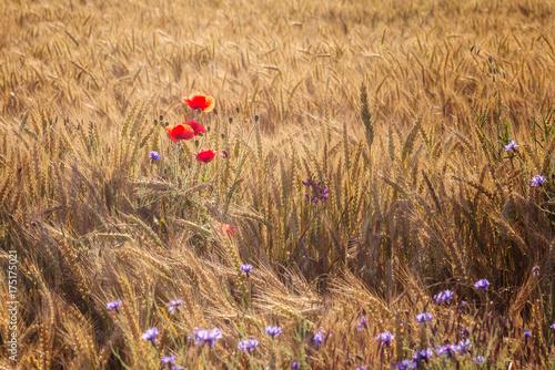Plakat Tło maki / Summertime z makami wśród pola pszenicy