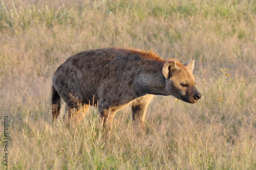 In de dag Hyena The African animals. Kenya