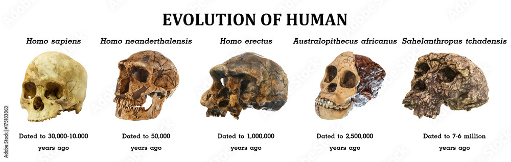 Fototapeta Evolution of human skull ( Sahelanthropus tchadensis . Australopithecus africanus . Homo erectus . Homo neanderthalensis . Homo sapiens )