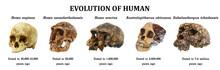 Evolution Of Human Skull ( Sah...