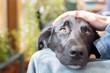 canvas print picture - Hundekopf am Schoß, streicheln