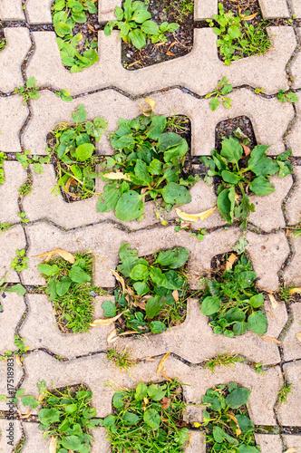Foto op Aluminium Op straat green grass in holes of paving blocks at summer. background, pattern, texture.