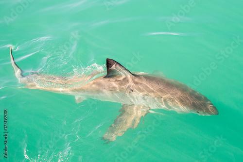Obraz na dibondzie (fotoboard) Wielki biały rekin (Carcharodon carcharias), Gansbaai, Republika Południowej Afryki