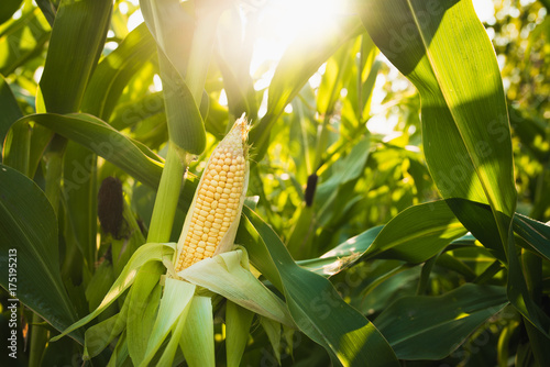 Foto Close up of food corn on green field