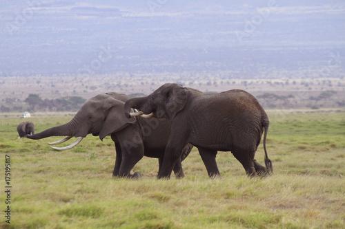 Afrikanische Elefanten (Loxodonta africana), Amboseli Nationalpark, Kenia, Ostaf Poster