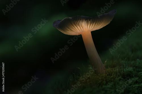 Fotografie, Obraz  Champignon magique