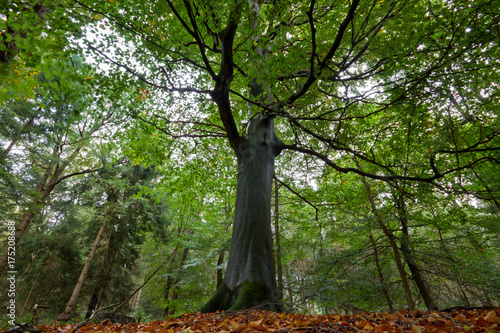 Giant European beech in a forest