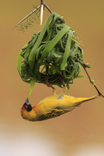 Masked Weaver Bird Building Nest