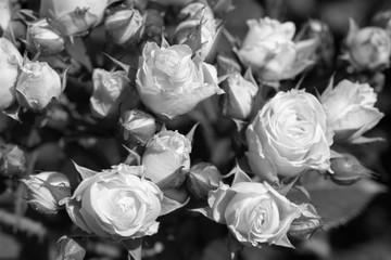 Black and white roses in garden