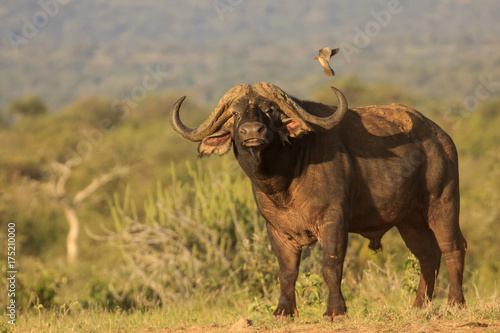 Deurstickers Buffel African Cape Buffalo