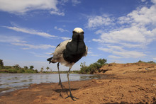 Blacksmith Plover (Lapwing) Bird