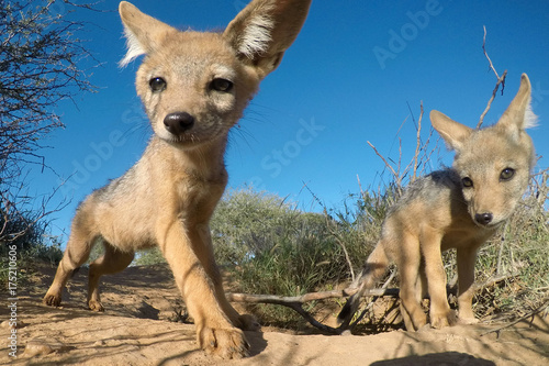 Poster Hyène Black-backed Jackal pups (cubs)