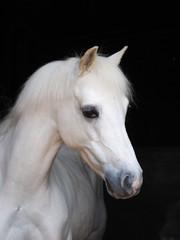 Headshot of a Grey Pony