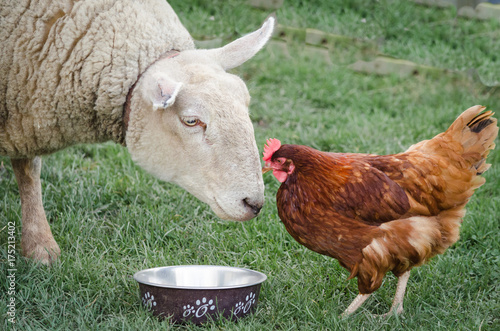 Sheep and Hen Canvas-taulu